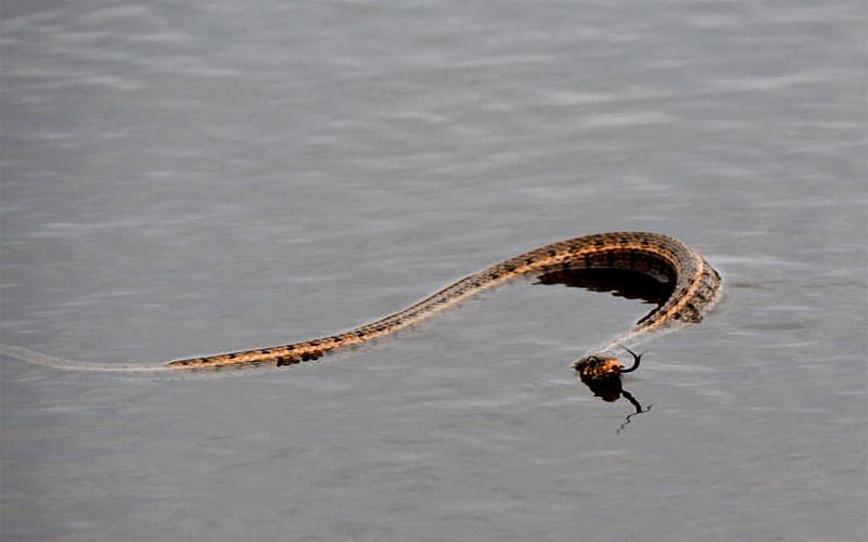 Göldeki yılanı böyle fotoğrafladı