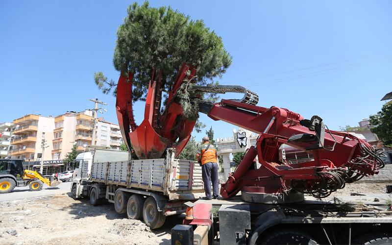 Büyükşehir Belediyesi: Ağaçlar zarar vermeden sökülüp taşındı