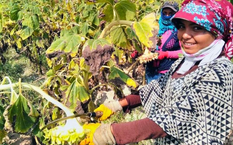 Türkiye'nin ayçiçeği deposu Çivril'de hasat başladı