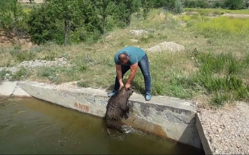 Domuz avcısı, yavru domuzları boğulmaktan kurtardı