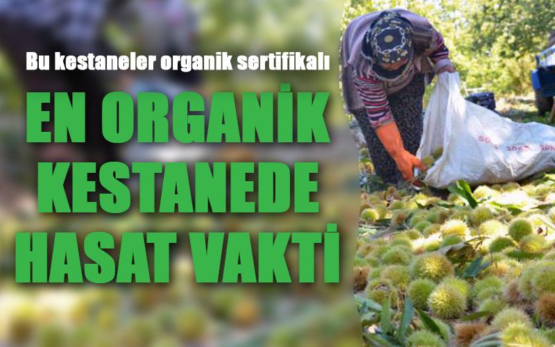 Organik sertifikalı kestanede hasat dönemi