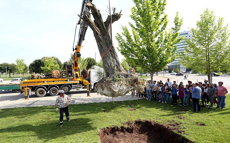 PAÜ Kampüsü'ne 400 ile 600 yıllık zeytin ağaçları