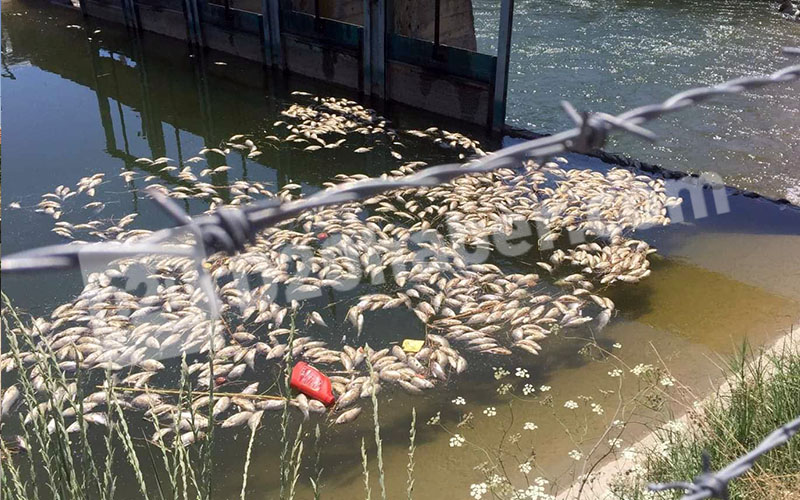 Sulama kanalında binlerce ölü balık