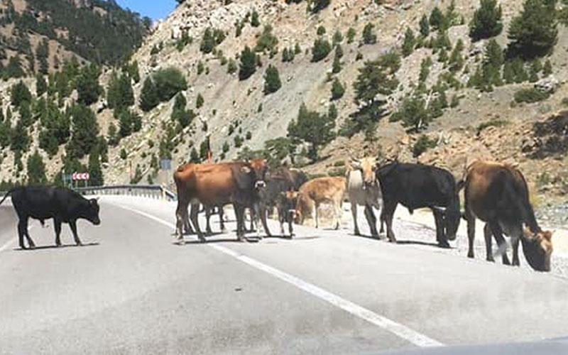 Yoldaki inekler trafiği tehlikeye düşürüyor