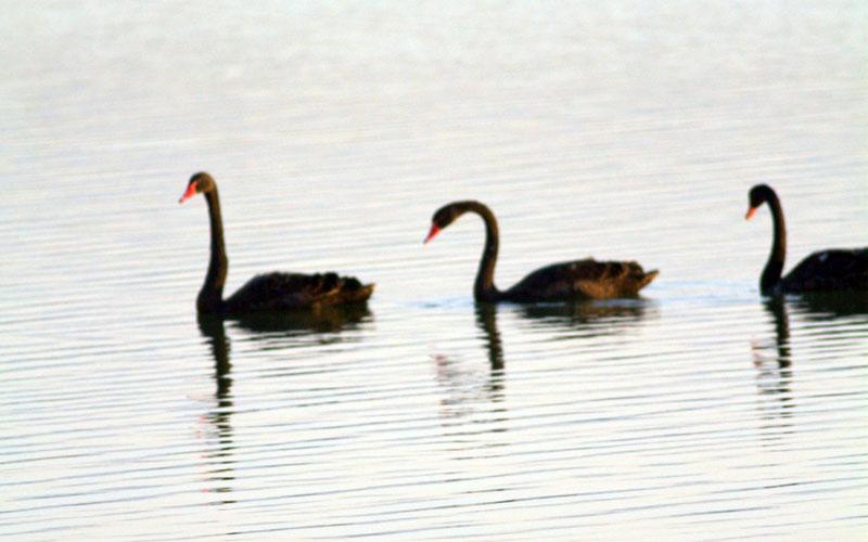 Kara kuğular, Denizli'de ilk kez görüntülendi