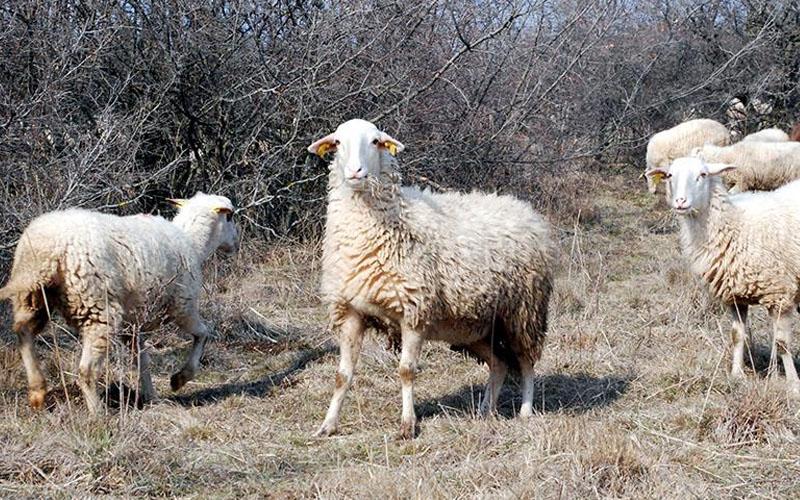 Amcasına borcunu ödeyemedi, keçi ve koyunları icradan satışta
