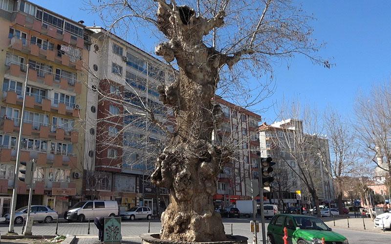 2 asırlık çınar ağacı yıllara meydan okuyor