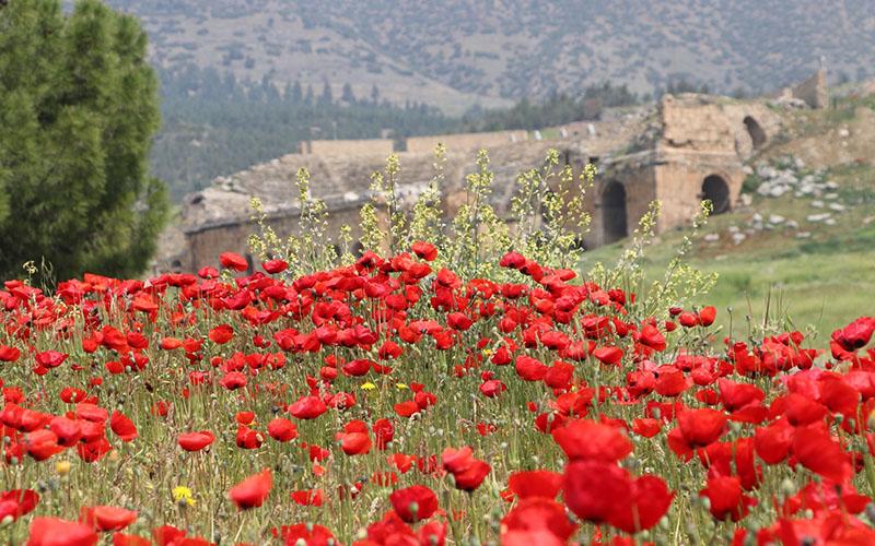 Hierapolis Antik Kenti gelincik çiçekleriyle bezendi