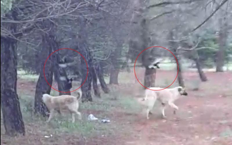 Saksağanların yavruyu korumak için köpekle mücadelesi