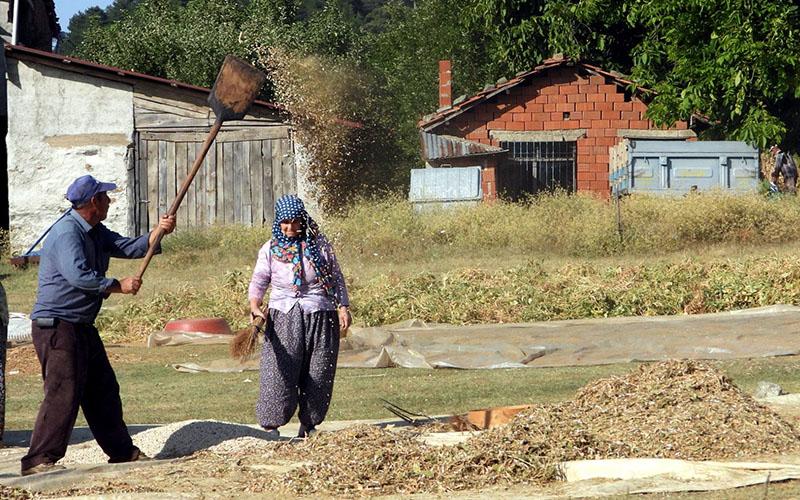 Yerli tohumla üretilen Buldan börülcesinde hasat vakti
