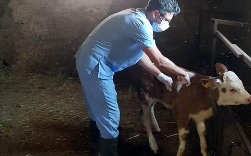 Büyükbaş hayvanlara şap aşısı yapılıyor