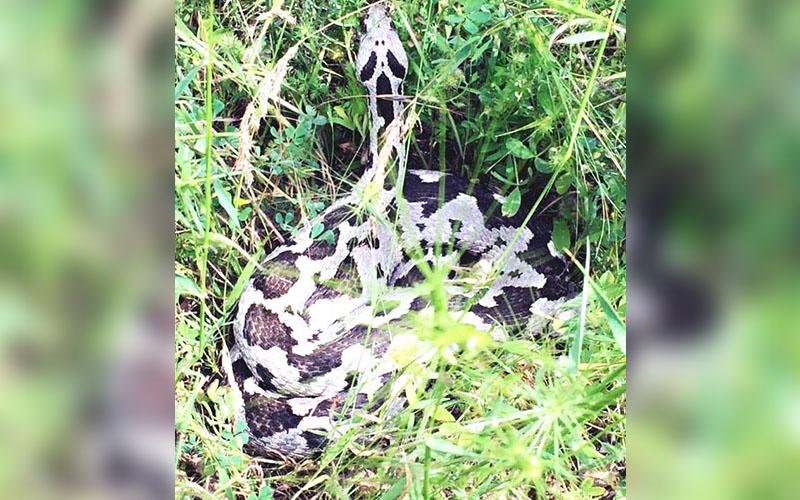 Denizli'de yaşayan tehlikeli tek yılan türü: Şeritli engerek