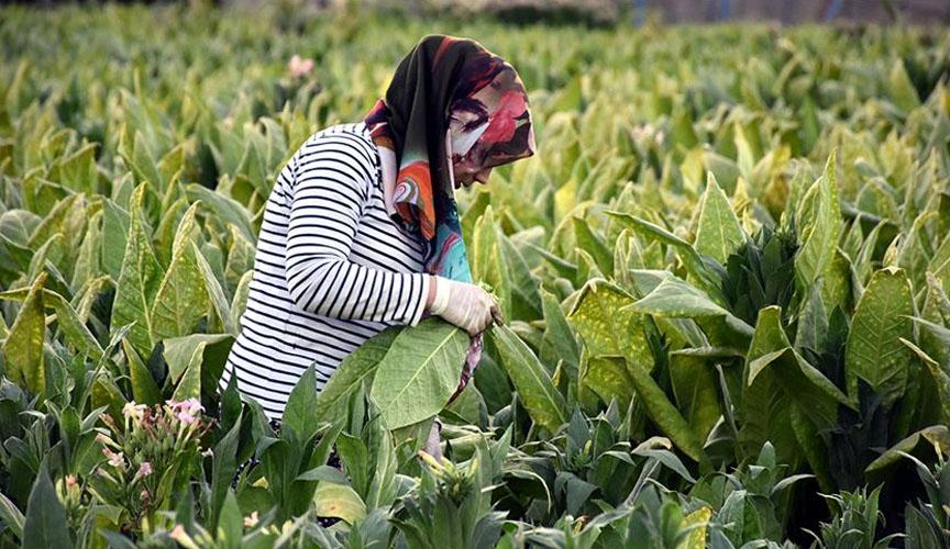 Denizli'de sözleşme dışı üretilen tütünlerin alım-satım esasları belirlendi