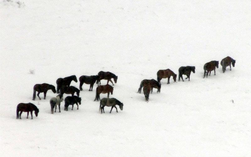 Akdağ'da kar üstünde yiyecek arayan yılkı atları görüntülendi