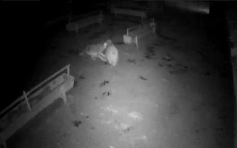 Aç kalan kurt ağıldaki koyunlara saldırdı