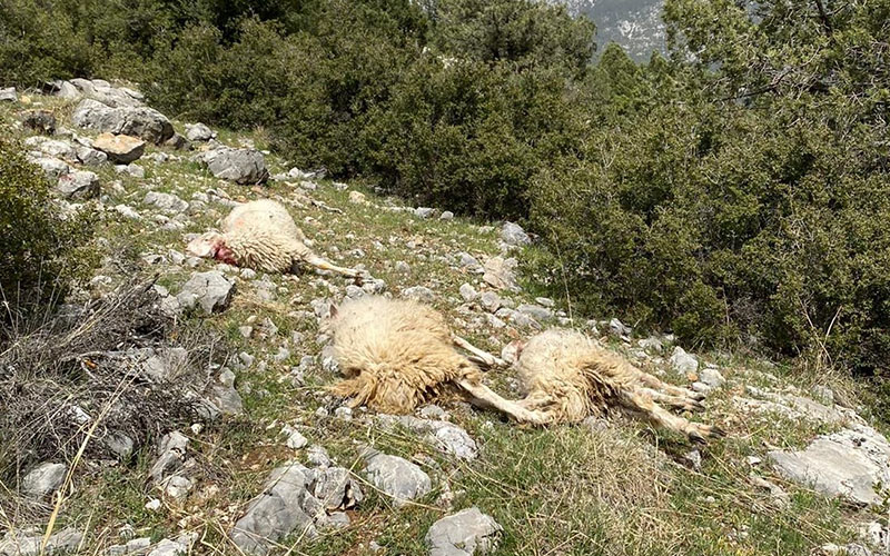 Aç kalan kurt 13 koyunu telef etti