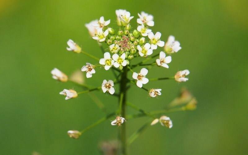 Doğada kendiliğinden yetişen şifa deposu bitki: Çoban Çantası