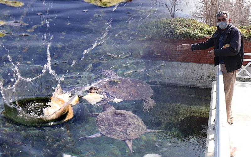 Süs havuzunda yaşayan su kaplumbağalarını ekmekle besliyor