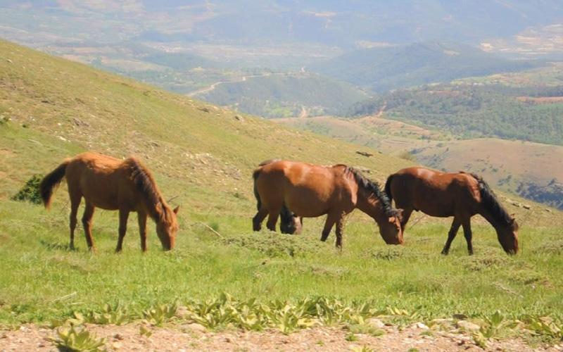 Yılkı atları Babadağ'ın yükseklerini mesken tuttu
