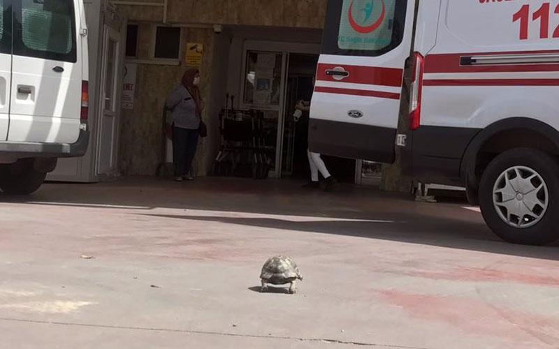 Bu kaplumbağanın yolu acil servise düştü