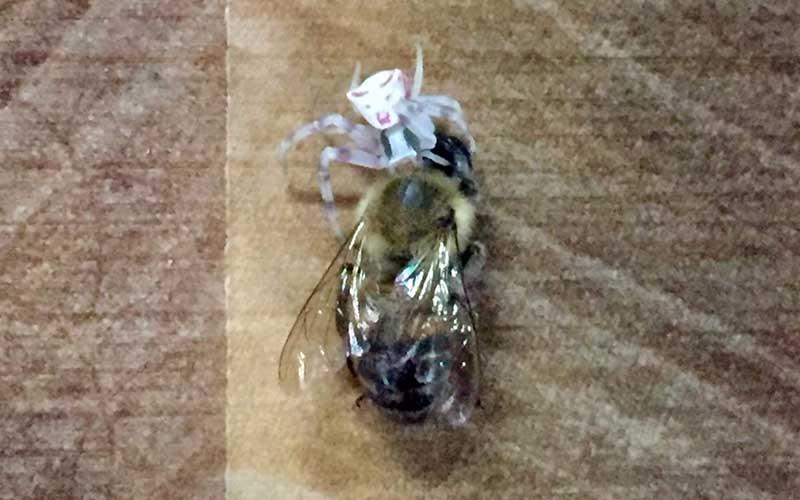 İnsan yüzlü örümcek  bir kez  daha ortaya çıktı