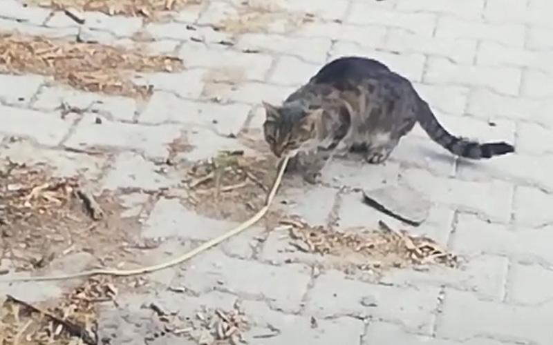 Kedi yılanı önce avladı, sonra yedi