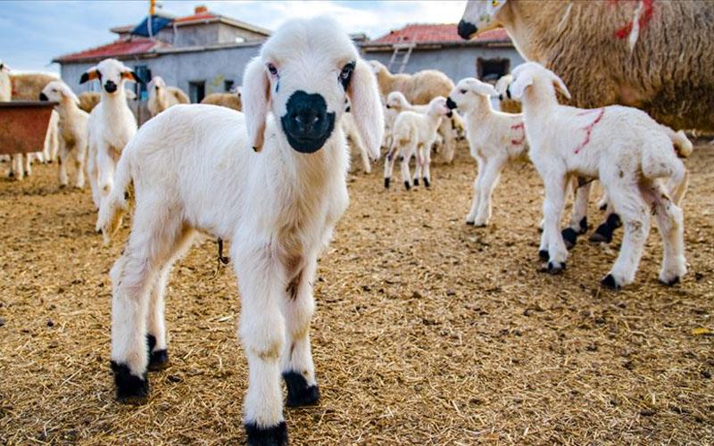 E-tarım platformu ile dijital ortamda hayvan satışı