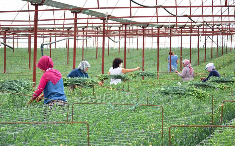 Karanfil üretimi Denizli'de yeni gelir kapısı oldu