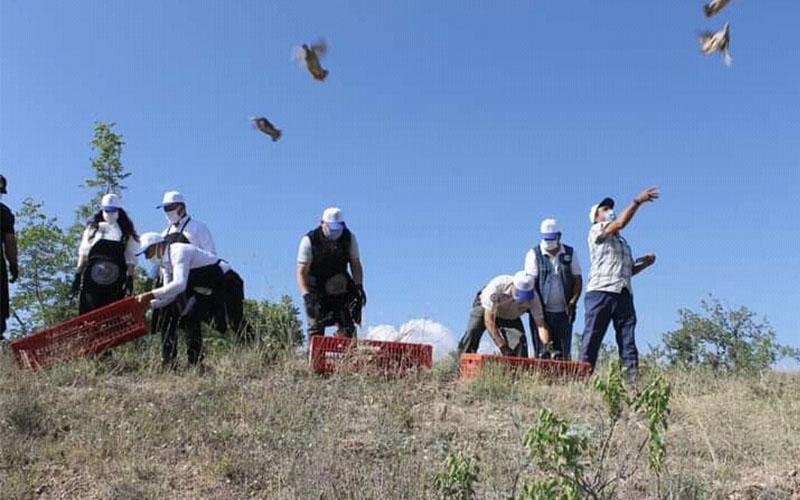 Denizli'de 600 kınalı keklik doğaya salındı