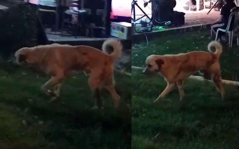 Düğünde müziğin ritmine uyan köpekten ilginç görüntüler