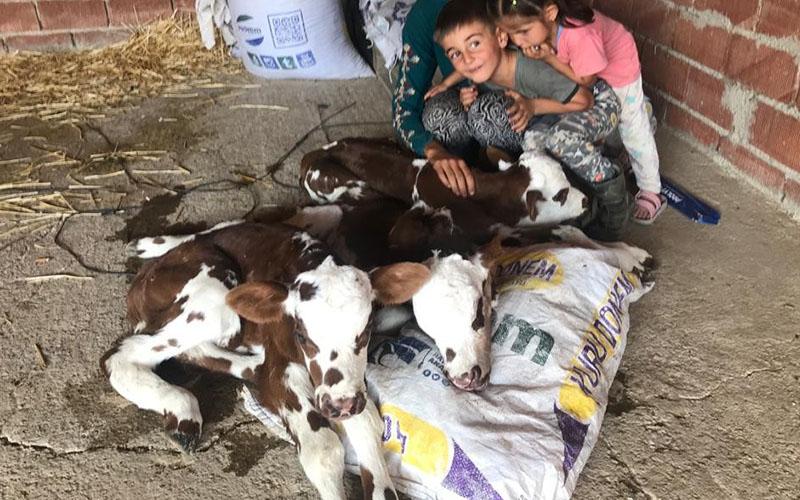 Üçüz doğuran inek sahibini sevindirdi