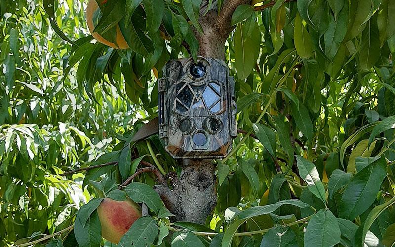 Meyve bahçelerine dadanan hırsızları fotokapanla yakalayacaklar